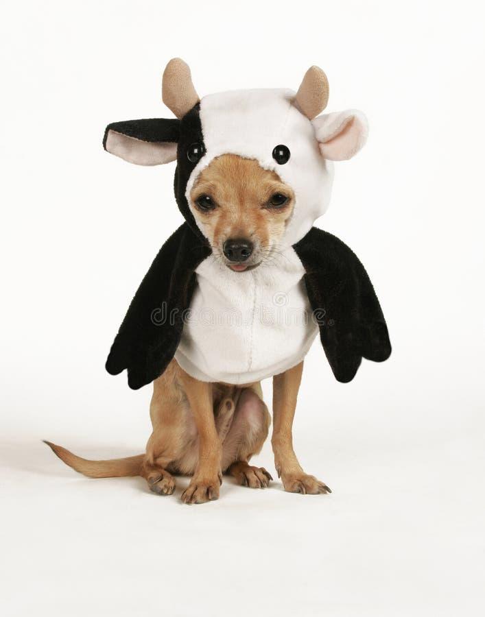 Cow dog royalty free stock photo
