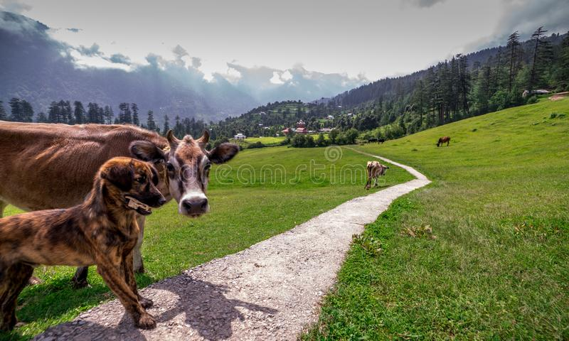 Cow and Dog in Green meadows in himalayas, Great Himalayan National Park, Sainj Valley, Himachal Pradesh, India. Photo of Cow and Dog in green meadows in royalty free stock image