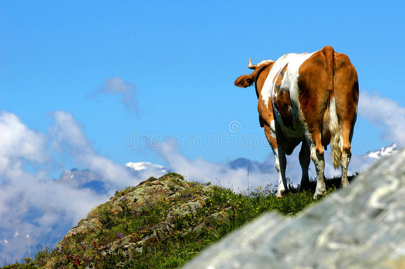 Cow dreams to fly royalty free stock photo