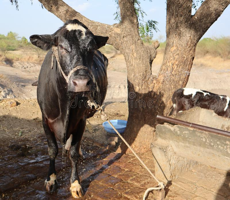 A cow drenched in water after bath stock photos