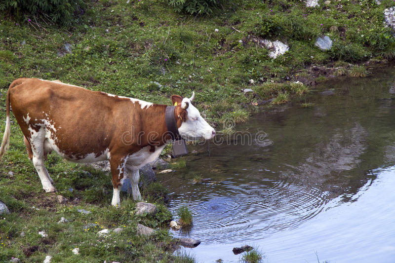 Cow drinking stock image