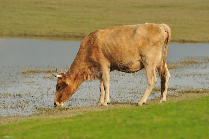 Download Cow drinking water stock image. Image of grass, domesticated - 17285899
