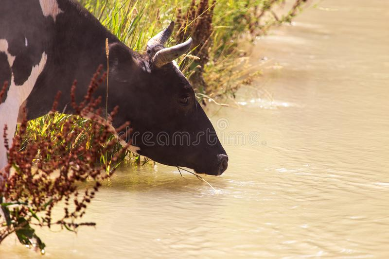 Cow drinks water from a pond in nature stock images