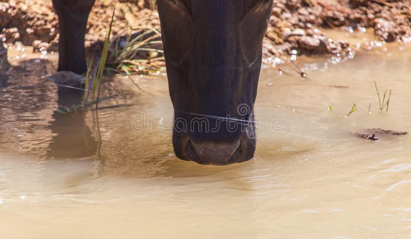 Cow drinks water from a pond in nature stock photography