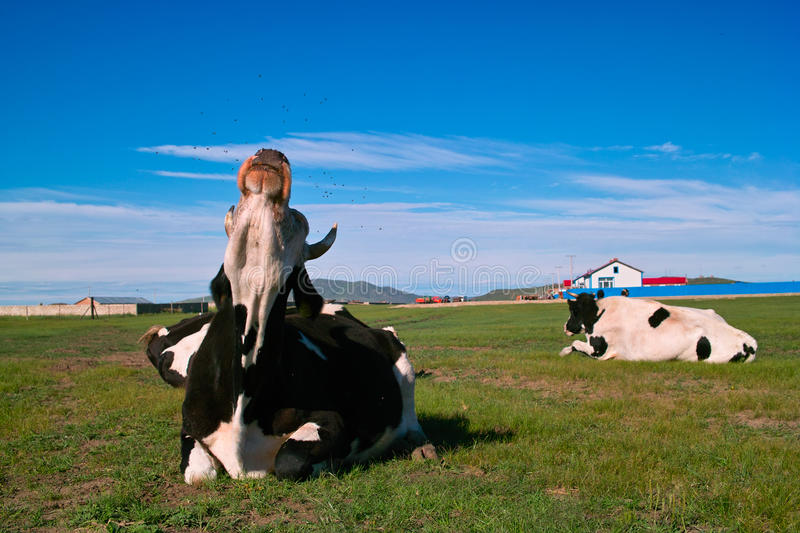Cow driving off flies stock images