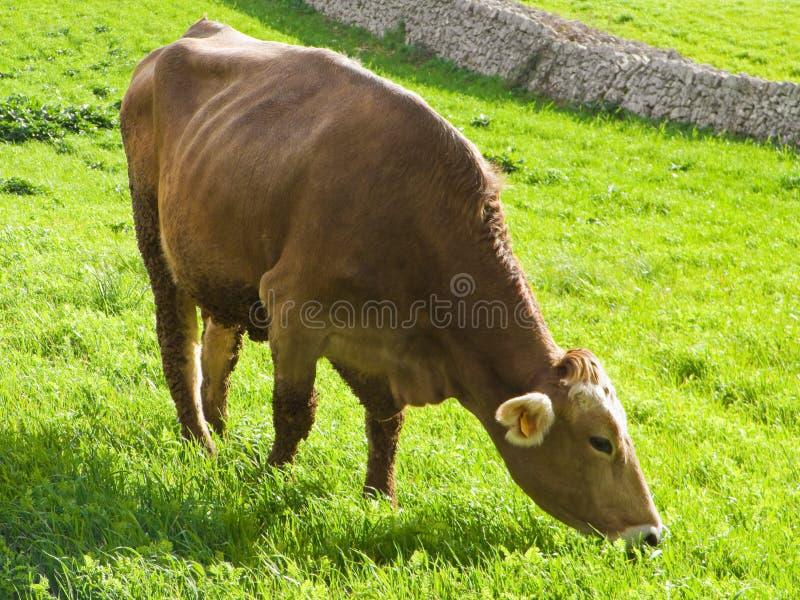 Cow Eating. Stock Photos