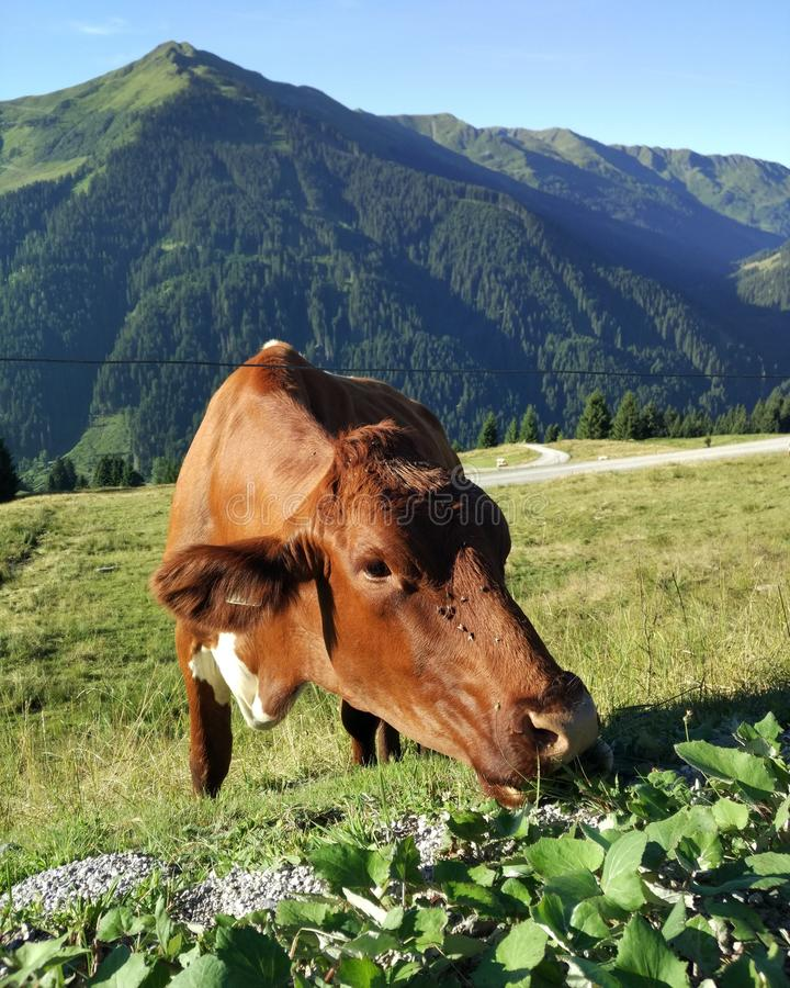 Cow eating royalty free stock photography