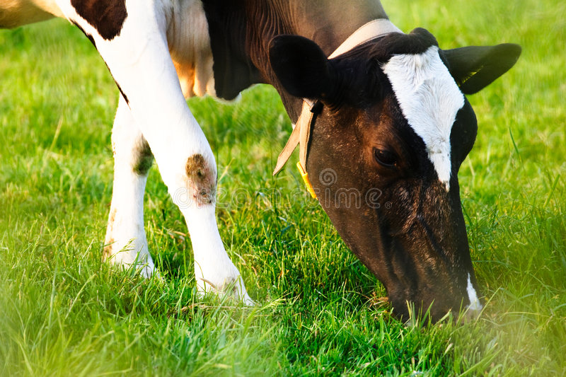 Download Cow Eating - Closeup stock photo. Image of countryside - 5241784