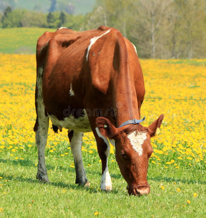 A cow eating in a field of dandelion stock images