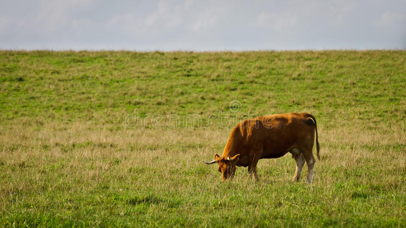 Cow eating grass in the meadow stock images