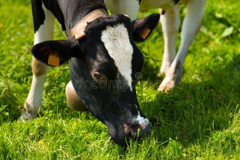 Cow Eating Green Grass on a Meadow stock photos