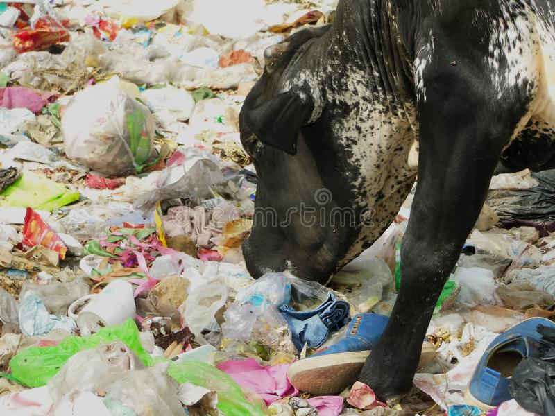 Cow eating polythene plastic bag trash environment pollution health hazard issue at garbage dump. Road side royalty free stock photography