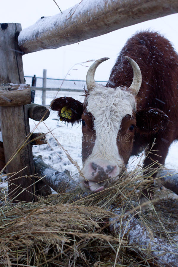 Cow eats hay stock image