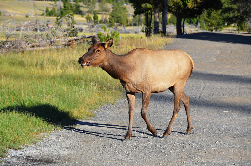 Cow Elk. A cow elk walks along a path in Yellowstone National Park in Wyoming, United States of America stock photos