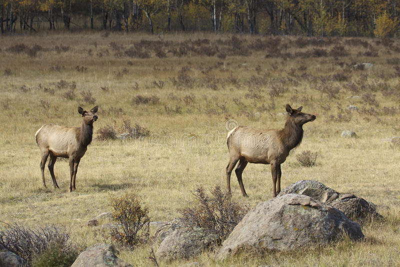 Cow Elk Stock Image