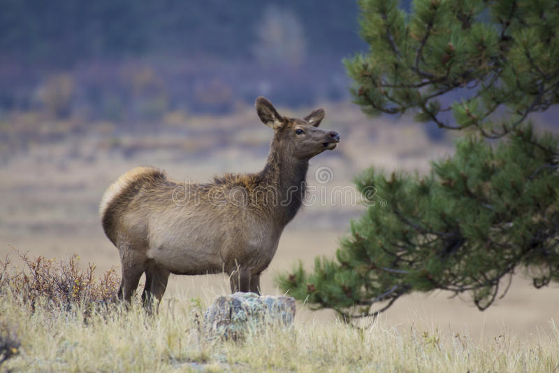Download Cow Elk stock photo. Image of wildlife, nature, colorado - 29224296