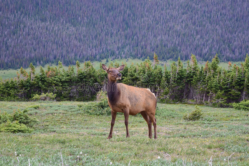 Cow Elk along the Ute Trail in Rocky Mountain National Park. This female elk took a momentary glance at us before returning to grazing along the Ute Trail in royalty free stock images