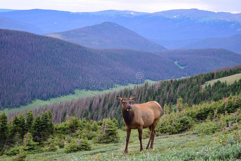 Cow Elk Grazing above the Poudre River Valley in Rocky Mountain National Park. This female elk seemed unconcerned with our presence along the Ute Trail above the stock photo
