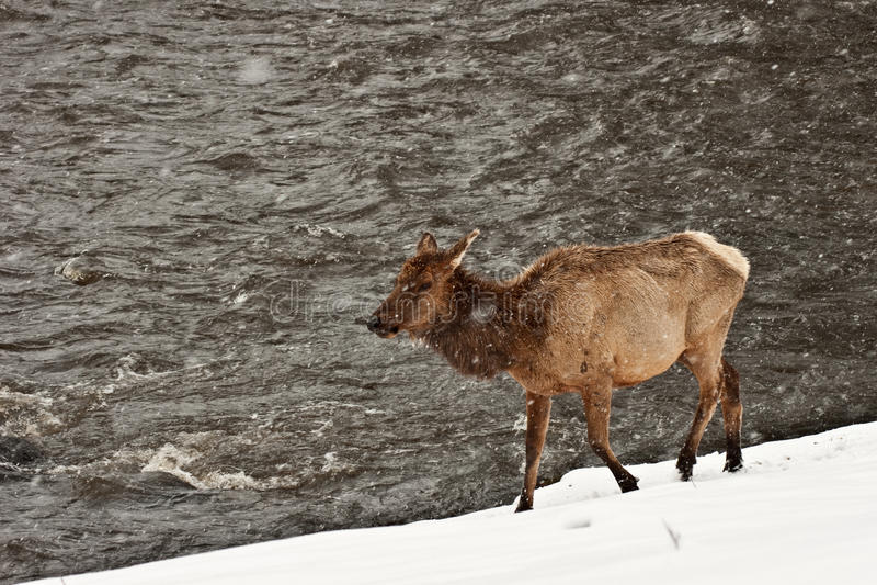 Cow Elk in Snowstorm 56 stock photography