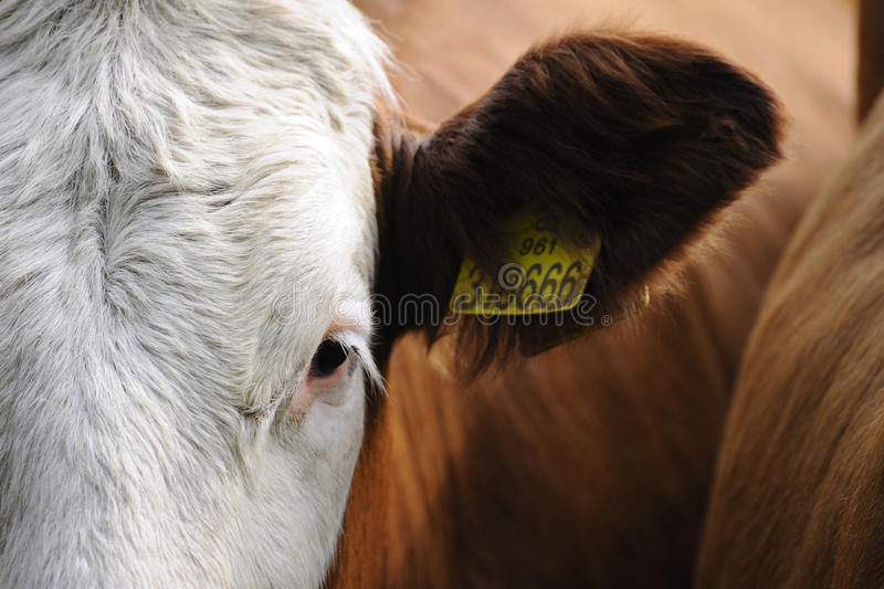 Cow eye. Cow in drove, eye close up royalty free stock photography