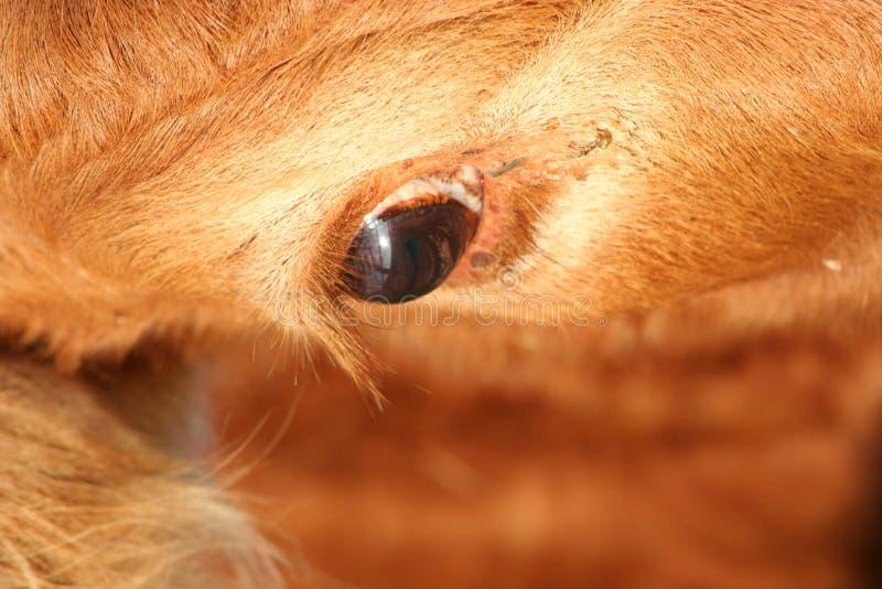 Cow Eye stock photos