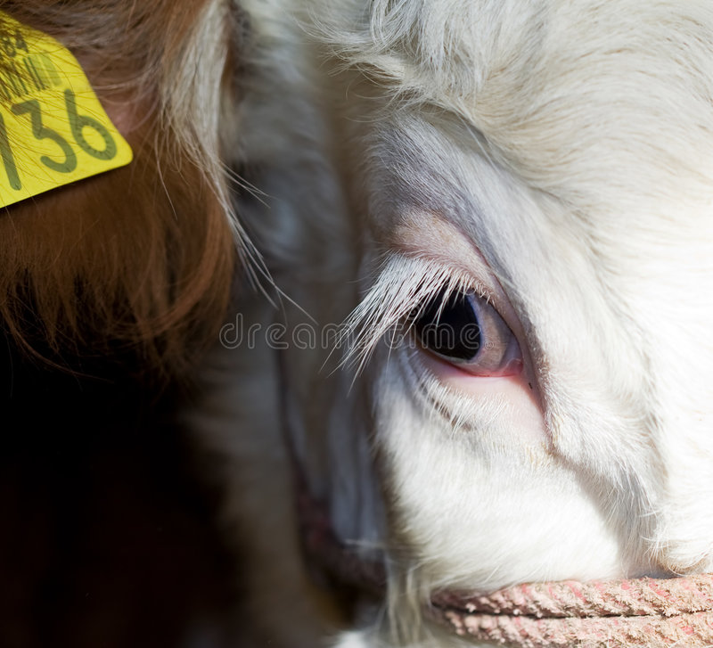 Download Cow Eye Closeup Stock Photography - Image: 4811692