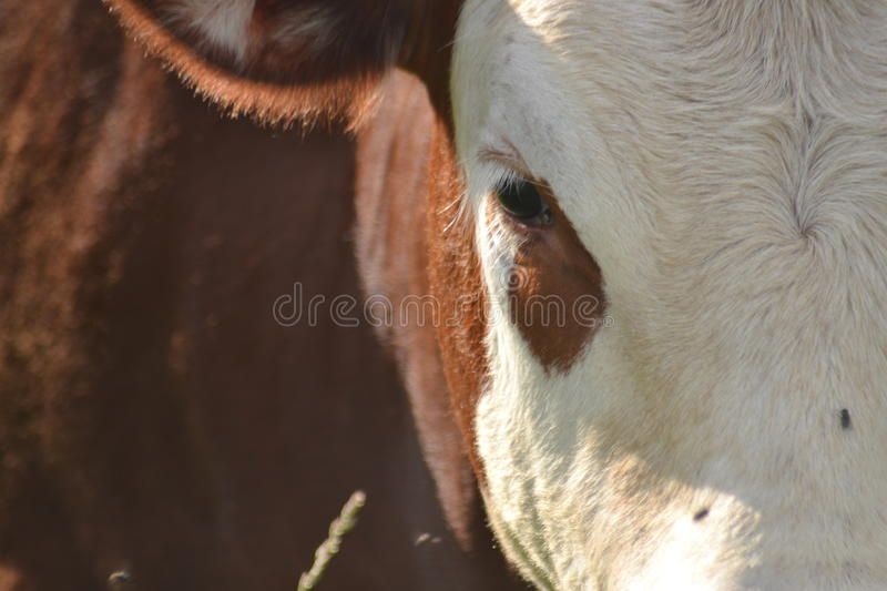 Cow eye royalty free stock images