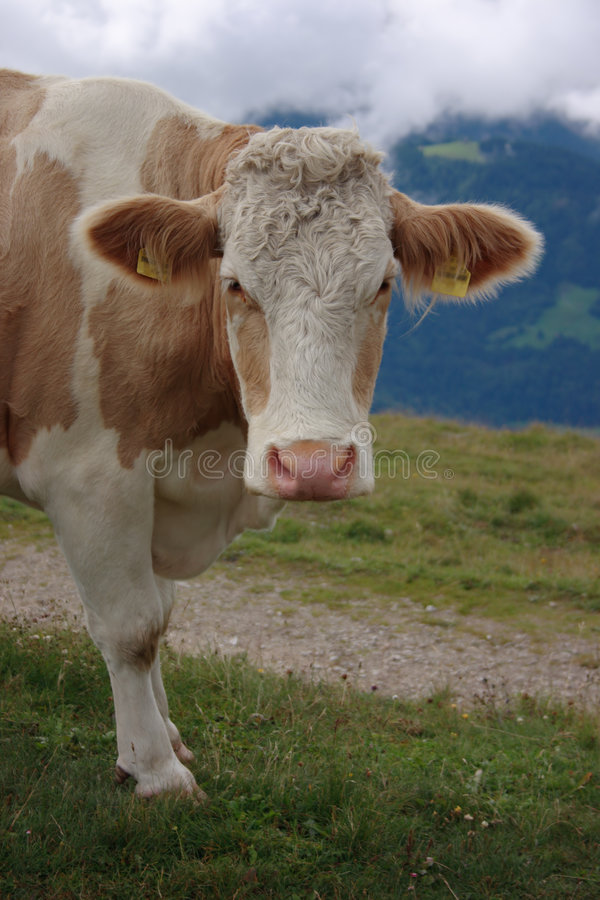 Cow Face royalty free stock photography
