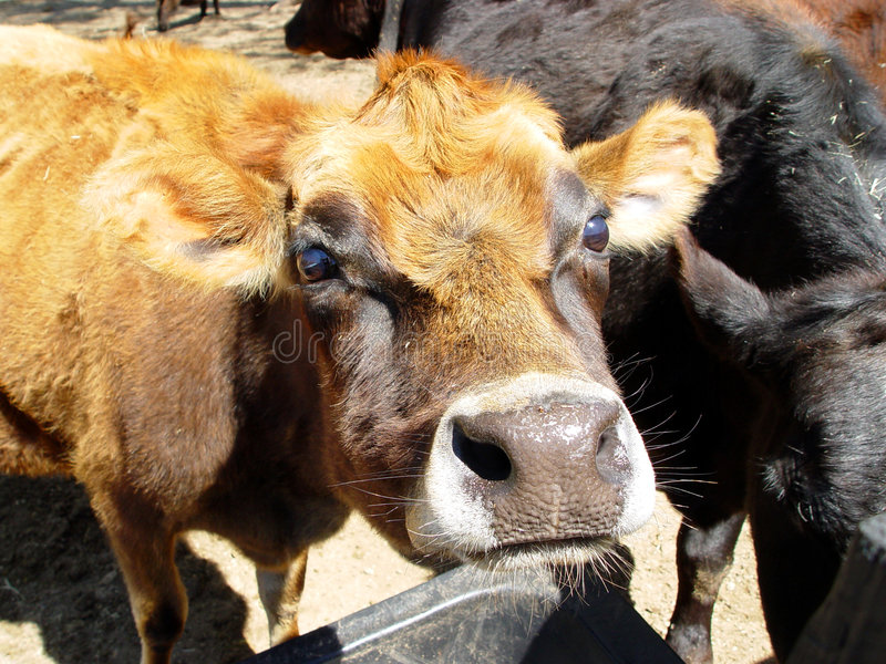 Download Cow face stock image. Image of farmland, field, meadow - 663001