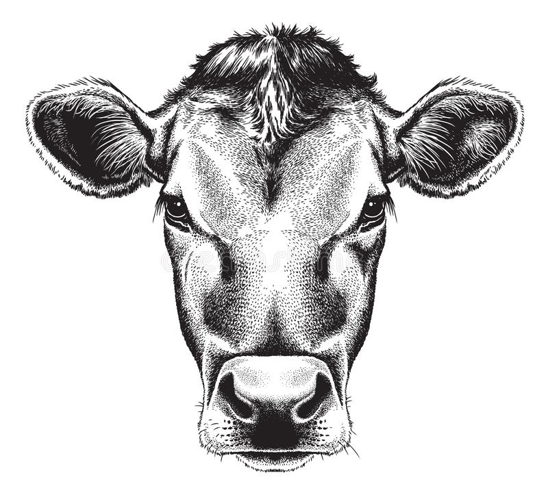 Black and white sketch of a cow`s face. Black and white line etching sketch of a cow`s face. Vector portrait vector illustration