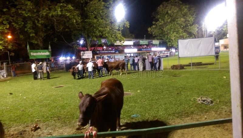 Cow fair royalty free stock photo