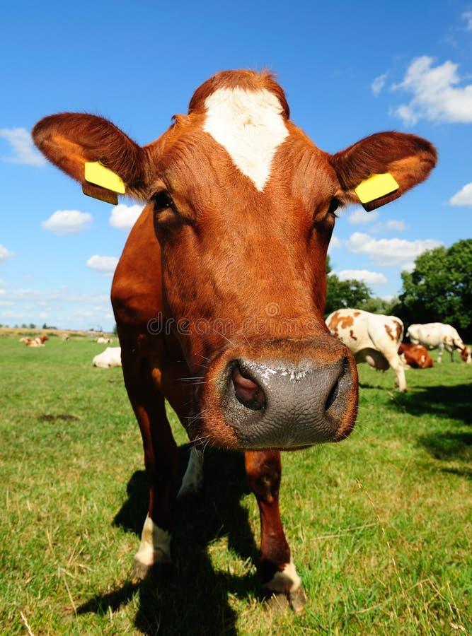 Cow farm. Dutch cow in a meadow field stock photography