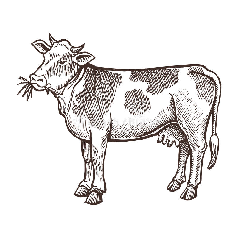 Cow farm animal sketch, isolated cow on the white background. Vintage style. vector illustration