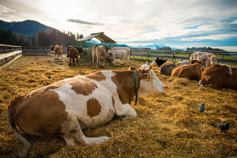 Download Cow farm stock photo. Image of field, farmland, breed - 36093114