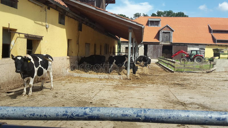 Cow on farm royalty free stock images