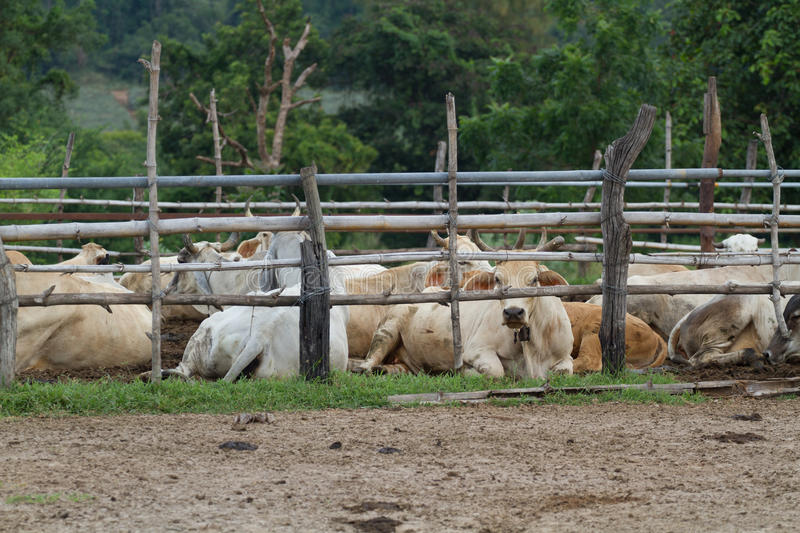 Cow farm in Thailand. Cow resting in farm Thailand stock photography