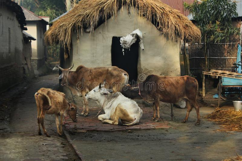 Cow. A farmer prepares milking cows at Chalanbil. It is one of the largest wetlands of Bangladesh.Khulna, Bangladesh stock images