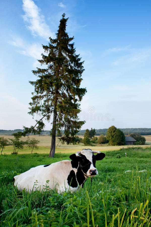 Cow On A Farmland Royalty Free Stock Photography