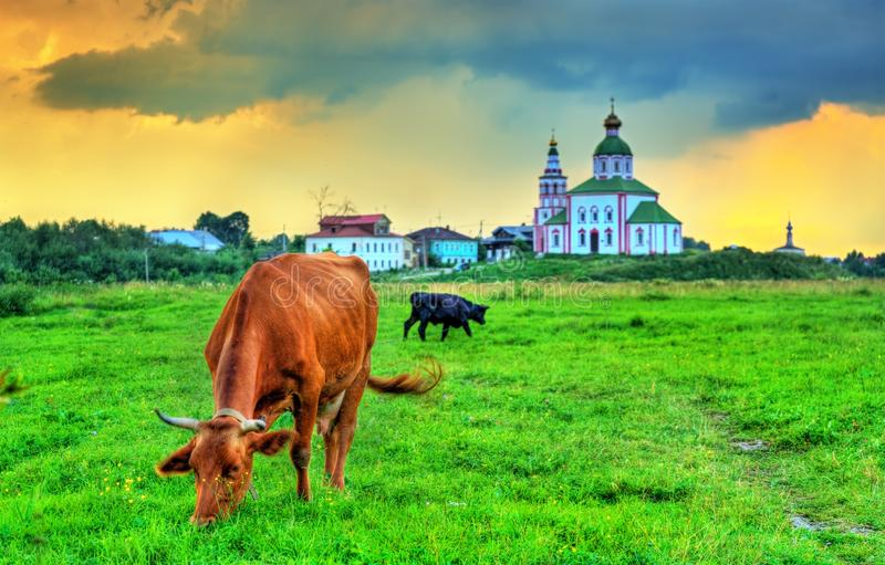 A cow feeding in a field with an ancient church in the background - Suzdal, Russia. A cow feeding in a field with an ancient church in the background - Suzdal stock photo
