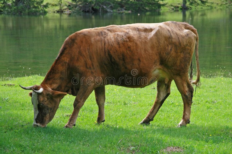 Download Cow at the field stock photo. Image of grass, eating, green - 873490