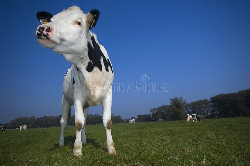 A cow in the field with blue sky stock photo