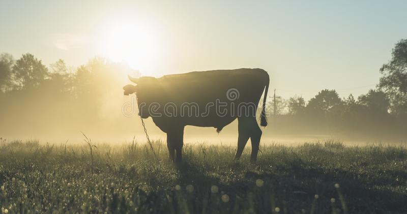 Cow On Field At Sunrise Free Public Domain Cc0 Image