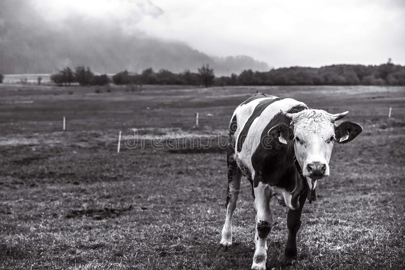 black and white image of a grazing calf. Black and white photography of grazing calf looking directly into the camera. Picture with a nostalgic melanchonic mood royalty free stock images