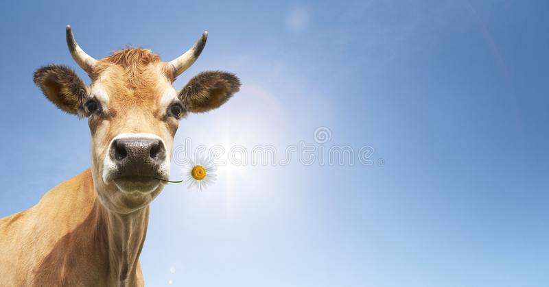 Cow with flower in the mouth stock photo