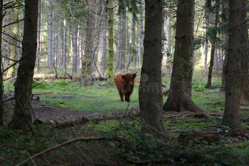 Cow in the forest royalty free stock photos