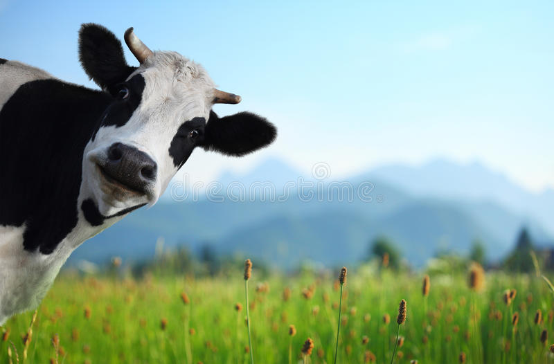 Cow. Funny cow on a green meadow looking to a camera with Alps on the background