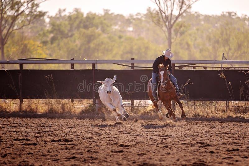 Cow-girl vivant en troupe un veau dans l'événement de rodéo de Campdraft photographie stock