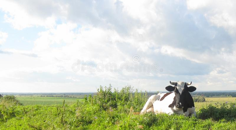 The cow giving the milk of grazing on meadow in the farm. stock photo