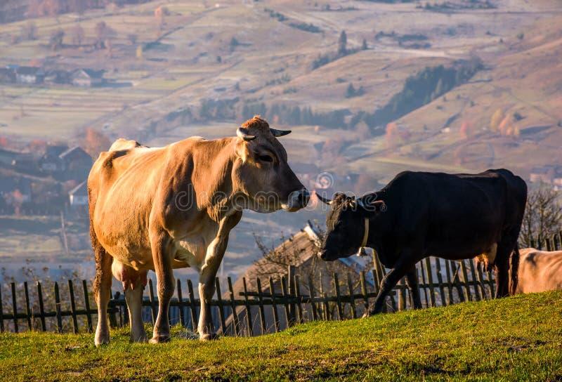 Cow go uphill near the fence on hillside stock photos