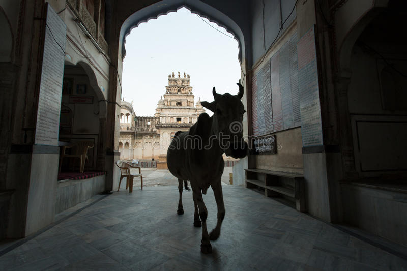 Cow going out from the Hindi Temple.  stock photos